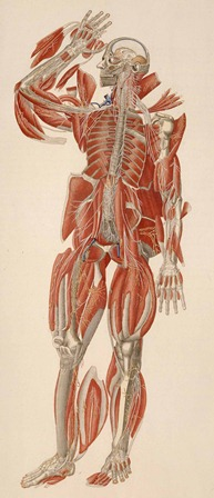 Paolo Mascagni, Anatomia universa (1823-1832), Harvard Medical Library in the Francis A. Countway Library of Medicine